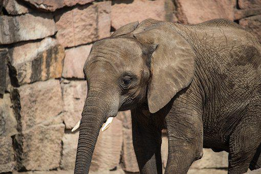 Elephant, Mammal, Animal, Animal World, Young Animal