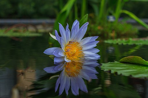 Water Lilly, Aquatic Plant, Water, Plant, Summer