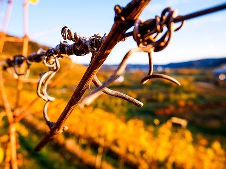 Autumn, Fall Leaves, Leaves, Wine, Vines, Nature