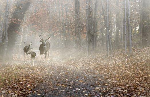 Deer, Deer Family, Forest, Mist, Morning, Fog, Autumn