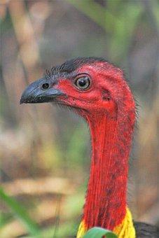 Bush Turkey, Face, Red, Neck, Beak, Yellow, Wattle