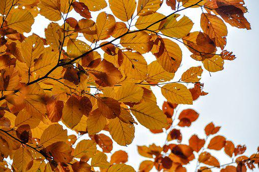 Leaves, Beech, Autumn, Tree, Fall Foliage, Colorful