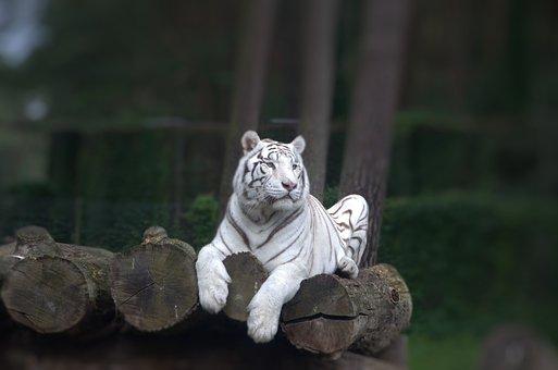 Animals, Tiger, Predator, Big Cat