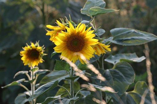 Sunflower, Yellow, Flower, Blossom, Bloom, Plant, Bloom