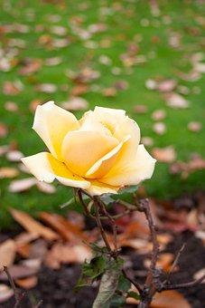 Yellow, Rose, Flower, Bloom, Romantic, Plant, Nature