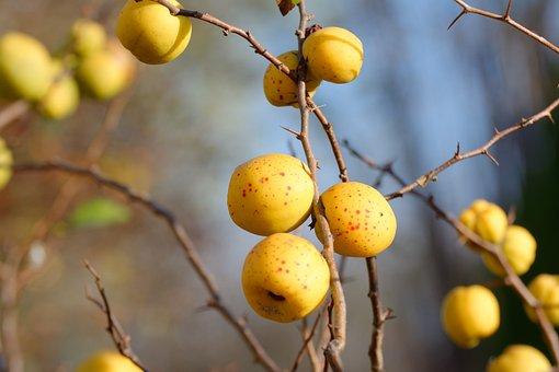 Chaenomeles, Fruit, Autumn, Barbed, Bush, Orange