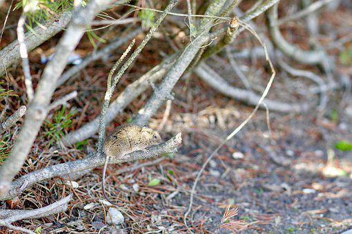 Mouse, Mice, Rodent, Cute, Mini, Small, Autumn, Pine