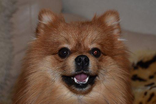Dog, Spitz, Pomeranian, Portrait, Animals, Each