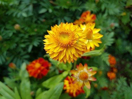 Fall Flowers, Straw Flower, Autumn Garden, Fall Garden