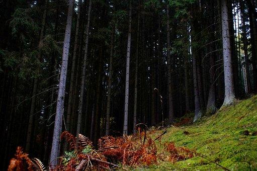 Glade, Forest, Fern, Green, Grass, Spruce, Autumn, Moss