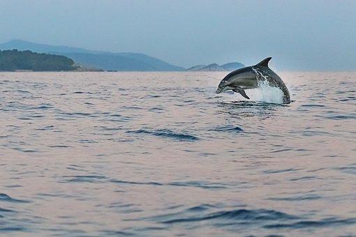 Dolphin, Adriatic, Sea, Animals, Wildlife, Fish