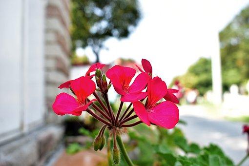 Geranium, Flower, Plant, Flowers, Summer, Garden
