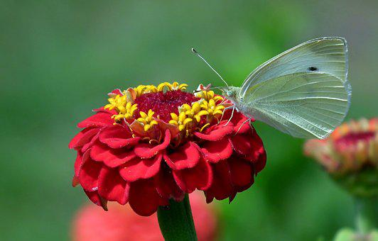 Butterfly, White, Insect, Flower, Zinnia, Wing, Macro