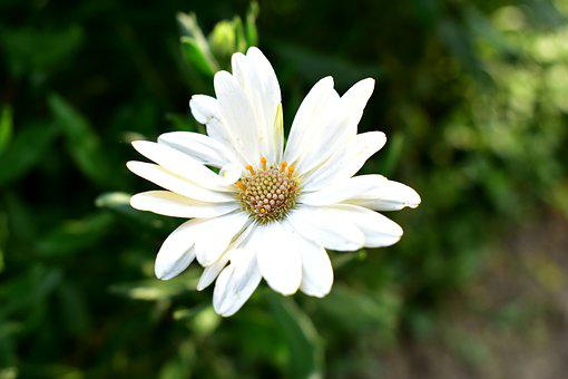 Cape Daisy, Daisy, Plant, Flower, Flowering, Flowers