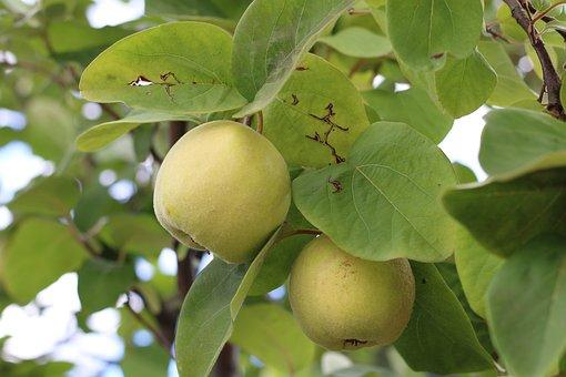 Apples, Growing, Tree, Fresh Fruit, Italy