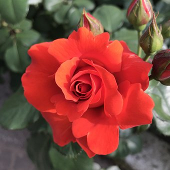 Flower, Rose, Flowers, Natural, Full Bloom Roses, Pink