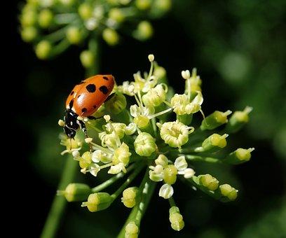 Ladybird, Insect, Parsley Flower, Garden, Nature
