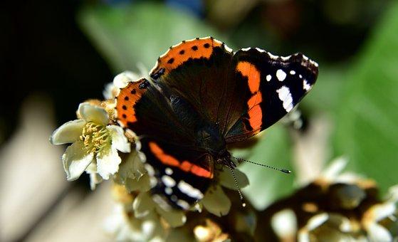 Butterfly, Butterflies, Insect, Blossom, Bloom, Medlar