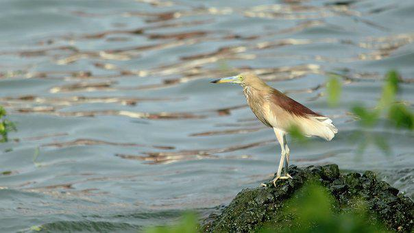 Pond, Heron, Kerala, Avian, Bird, Water, Sea, Ocean