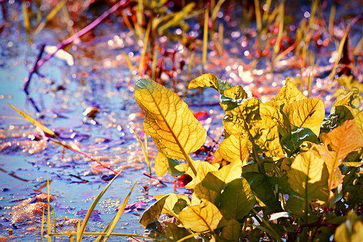 Marsh, Water, Leaf, Aquatic Vegetation, Autumn Color