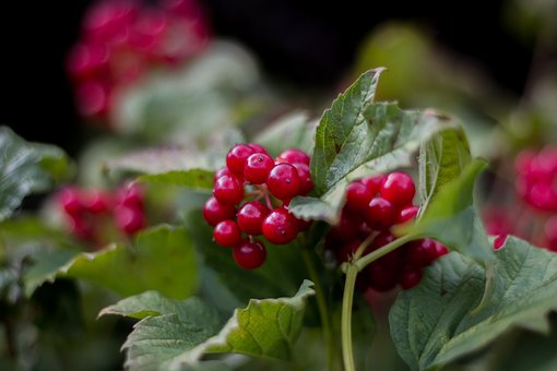 Currant, Red Currant, Leaves, Summer, Berries, Fruits