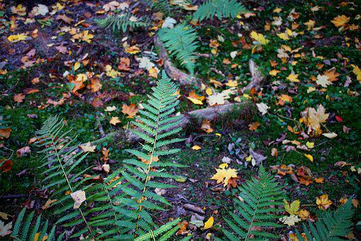 Forest Floor, Fern, Green, Leaves, Moss, Autumn, Wood