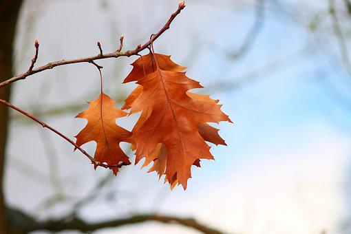 Fall Foliage, Leaves, Three, Orange, Hanging, Depend