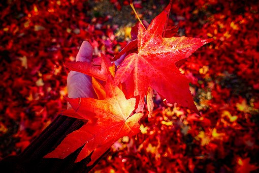 Leaves, Fall, Forest, Nature, Light, Red, Season