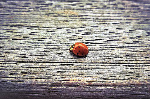 Ladybug, Insect, Lucky Charm, Beetle, Red, Black