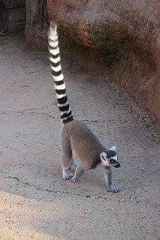 Lemur, Madagascar, Nature, Zoo, Animal, Mammal, Curious