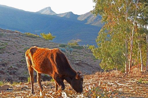 Lesotho, Malealea, Cow, Mountain, Mountains, Landscape