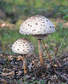 Mushroom, Parasol, Nature, Harkány, Akácerdő, Forest