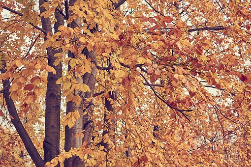 Autumn, Leaves, Nature, Tree