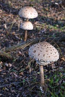 Mushroom, Parasol, Nature, Harkány