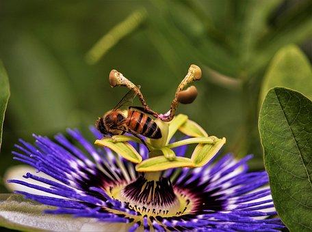 Insect, Honey Bee, Macro, Wildlife, Passion Flower