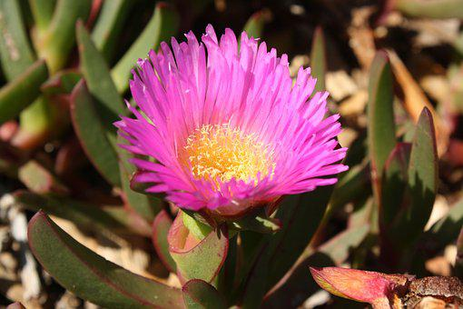 Pig Face, Pink Flower, Petals, Adaptation, Salt