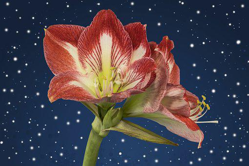 Amaryllis, Red, Pink, Blossom, Bloom, Flower, Plant