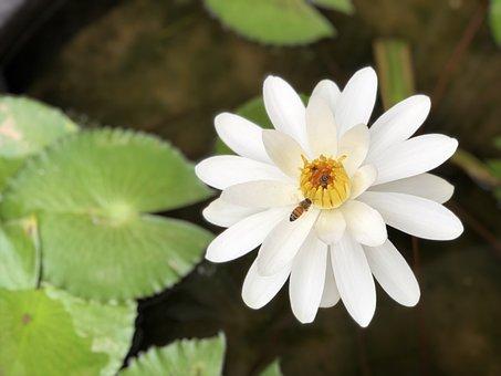 Bee, Nymphaea Alba, White, Plant, Adopt Honey