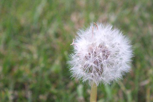 Breathe, Flower, Puffs, Dandelion, Plant, Natural