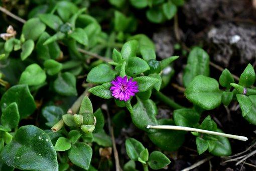 Purple, Hair Of The Queen, Plant, Prado, Grass, Spring