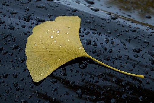 Ginkgo Biloba Deciduous, Rainwater, Rain Water Droplets
