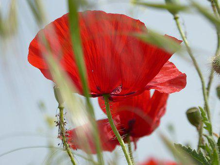 Poppy, Red, Nature, Flower, Mohngewaechs, Flora