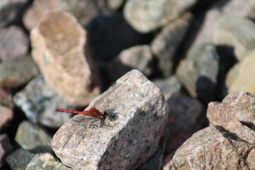 Dragonfly, Rock, Pierre, Roche, Wing, Insects, Red