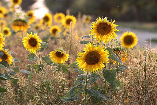 Sunflower, Yellow, Summer, Flowers, Bloom