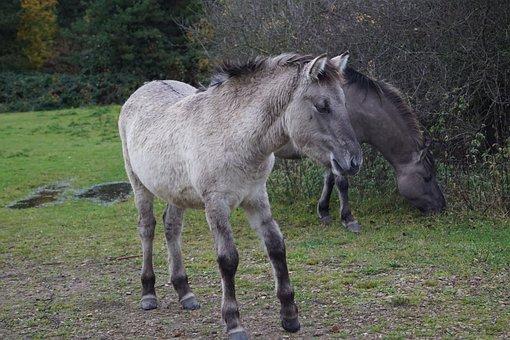 Wild Horses, Foal, Hesse Park, Weener, Sunday Stroll