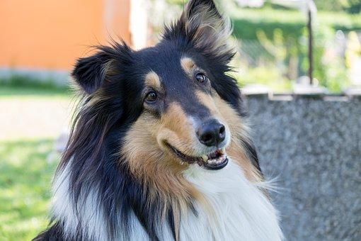 Collie, Pet, Dog, Animal, Sweet, Head, Portrait