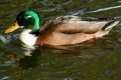 Duck, Water Bird, Mallard, Drake, Water, Green, Plumage