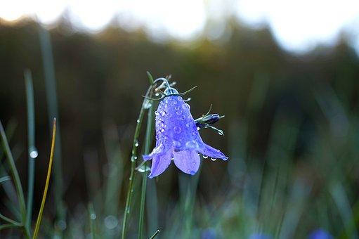 Bellflower, Grass, Blossom, Bloom, Blue, Dew, Wet