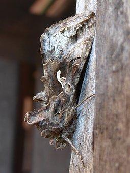 Gamma Owl, Noctuinae Stubs, Macro, Animal