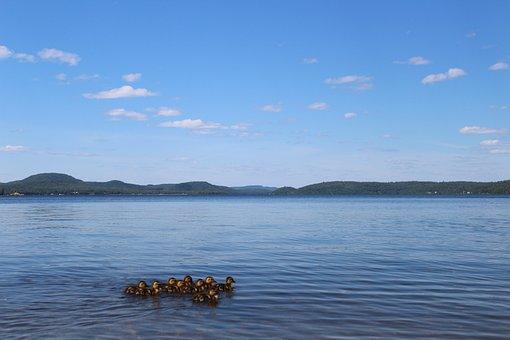 Duck, Animals, Summer, Lake, Beach